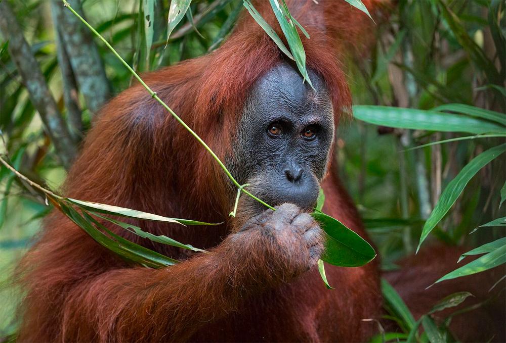 Lush engagiert sich zum zweiten Mal mit #SOSsumatra für den Erhalt von Orang Utans.