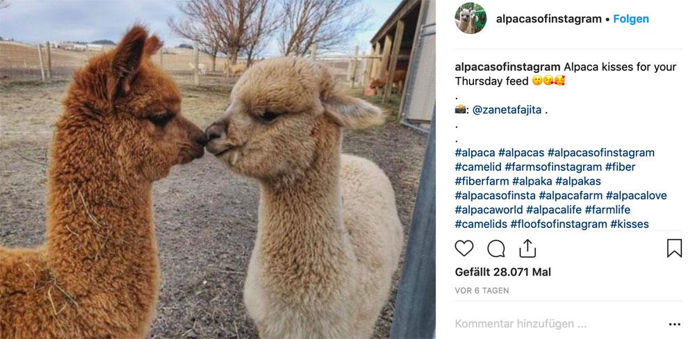Alpacas und Lamas gelten als neue Trendtiere