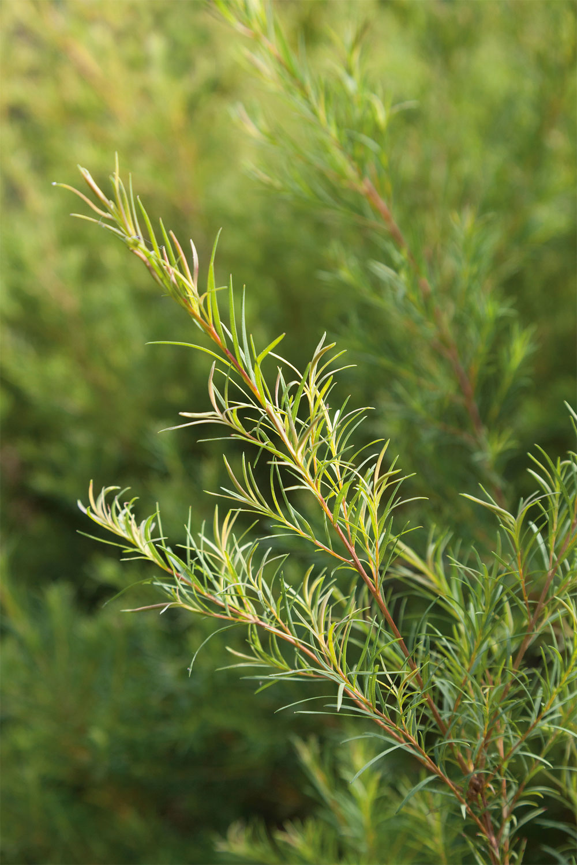Teebaumöl ist ein beliebter Wirkstoff in der Kosmetik. Aus gutem Grund, wie sonrisa weiss, wo Du alle Fakten zu diesem pflanzlichen Schönmacher findest.