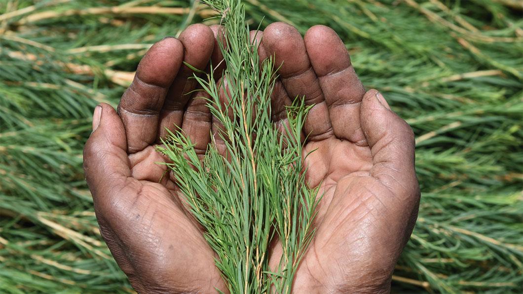 Teebaumöl: Alles, was Du über den pflanzlichen Schönmacher wissen musst